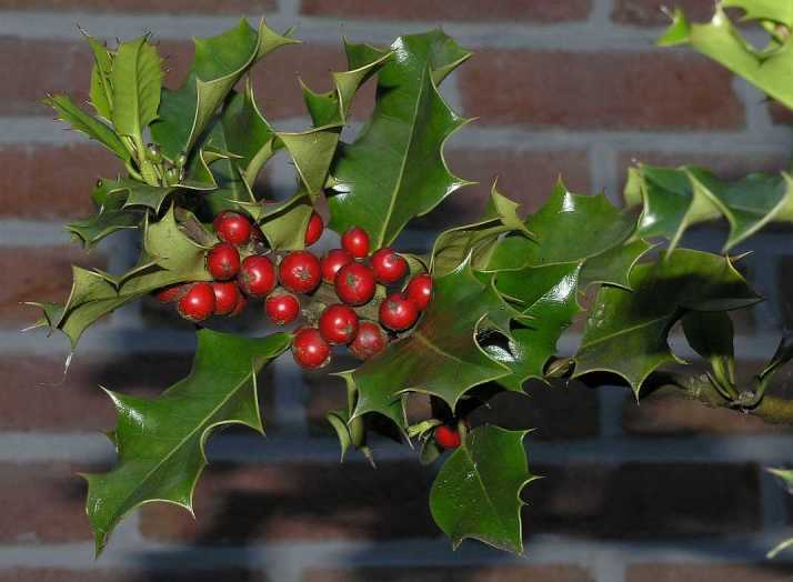 Holiday Plants with Toxic Misconceptions