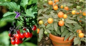 Figure 3. Bittersweet (Solanum dulcamara) (left) and Jerusalem cherry (Solanum pseudocapsicum) (right)